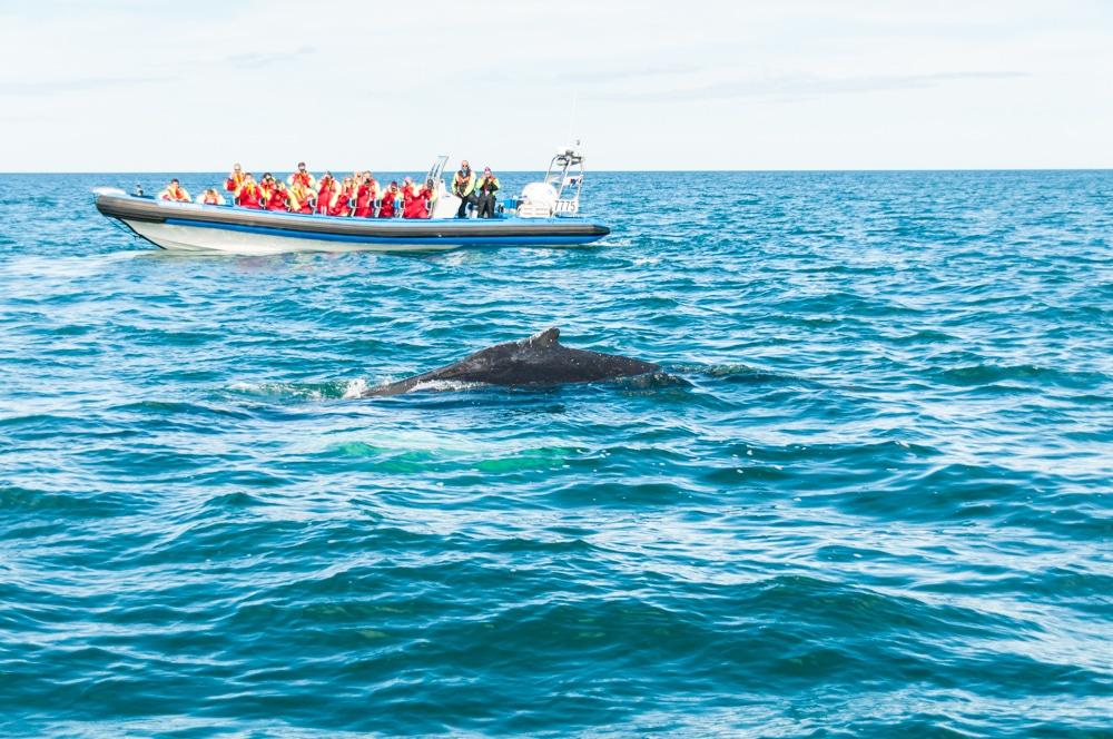 Ruta per Islàndia (II): Avistament de balenes a Húsavík, la cascada Dettifoss i relax al llac Myvatn