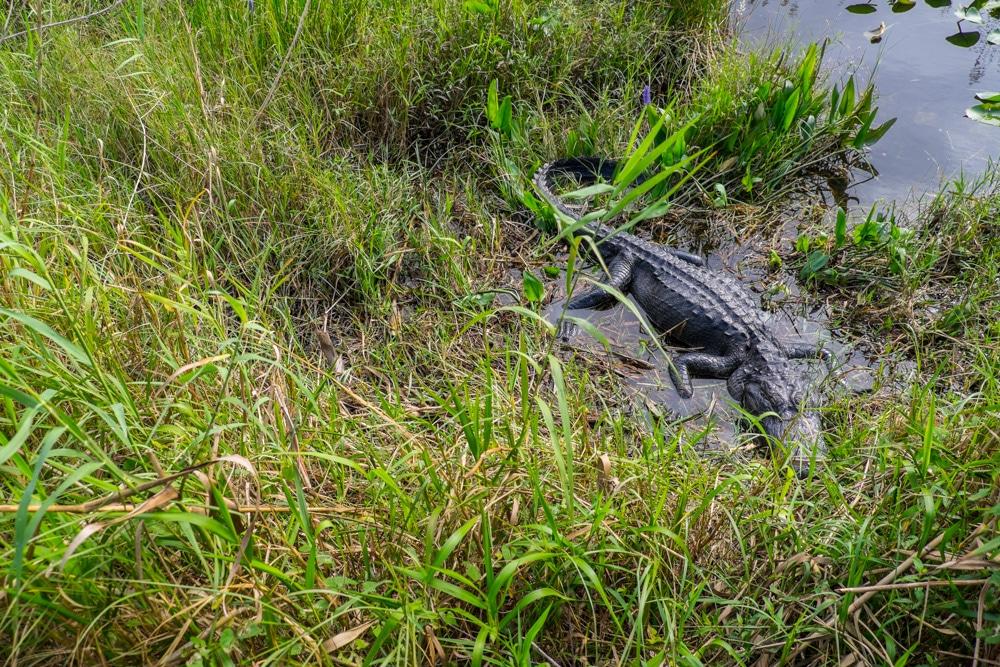 Visitar el Parc Nacional dels Everglades des de Miami