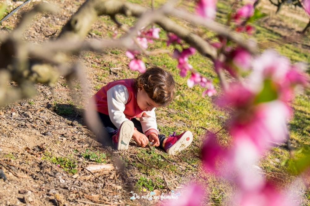 ruta de la flor del presseguer amb Alcarràs Florit