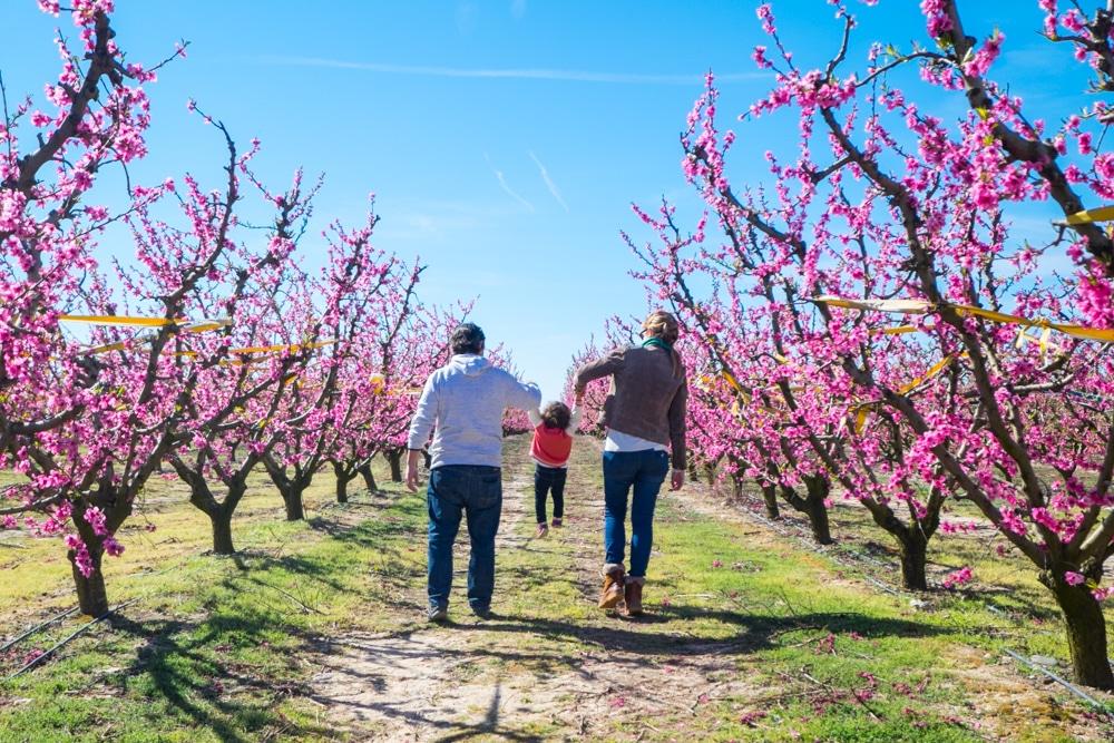 La ruta de la flor rosa del presseguer al Segrià. Organitzada o per lliure?