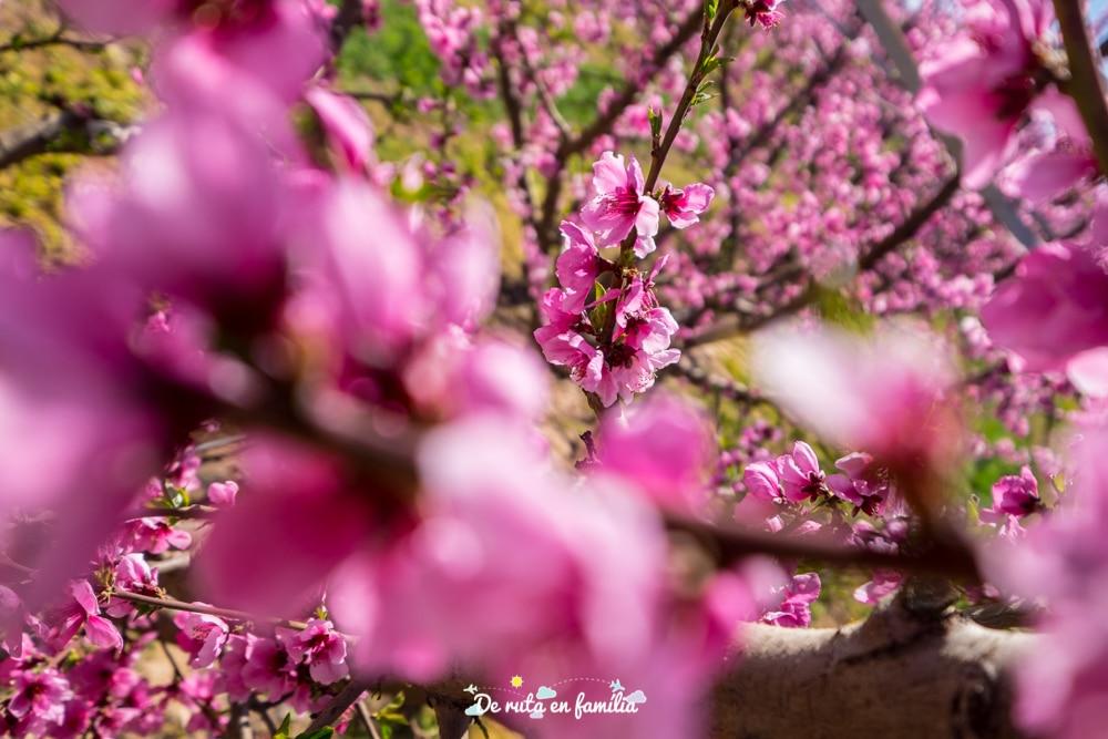ruta de la flor del presseguer al Segrià per lliure